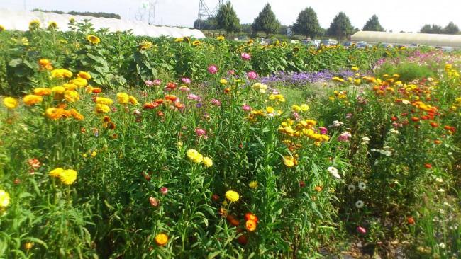 champs de fleurs ferme du paradis seclin