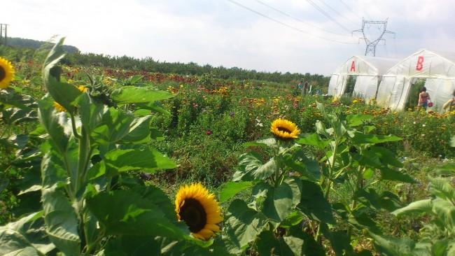 cueillette fleurs ferme du paradis