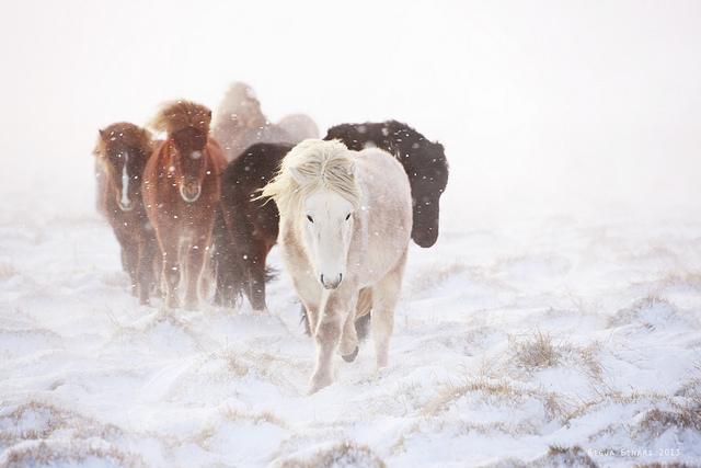 Gigja-Einars-Icelandic-Horses-02