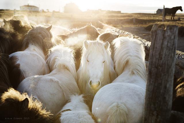 Gigja-Einars-Icelandic-Horses-05