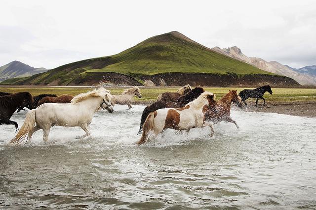 Gigja-Einars-Icelandic-Horses-08