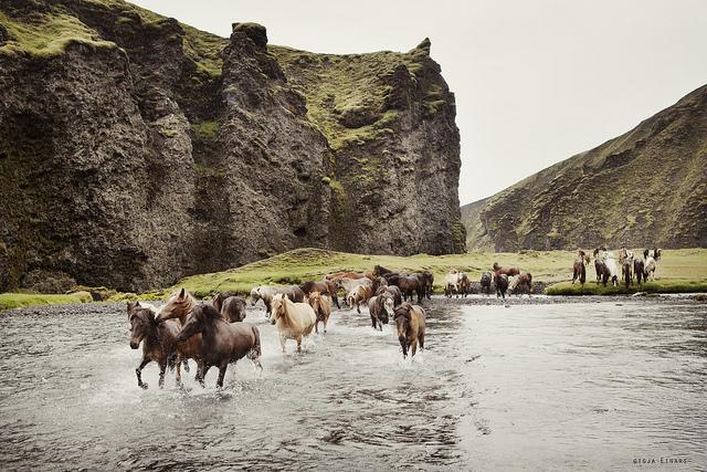 Gigja-Einars-Icelandic-Horses-12