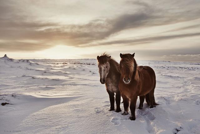 Gigja-Einars-Icelandic-Horses-19