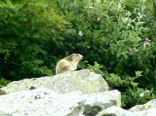 marmottes à super besse