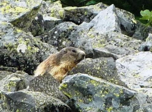 marmottes au puy de chambourguet