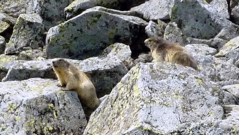 marmottes en auvergne