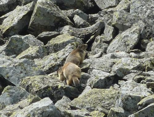 voir les marmottes en auvergne