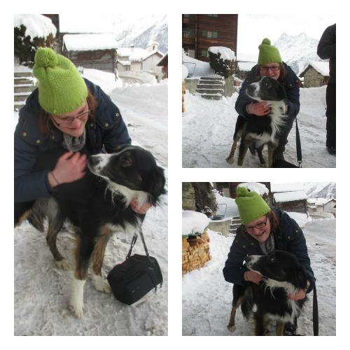 chien de berger suisse