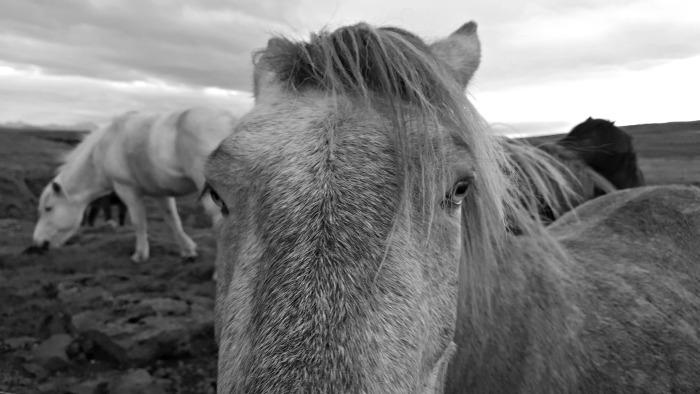 cheval-islande