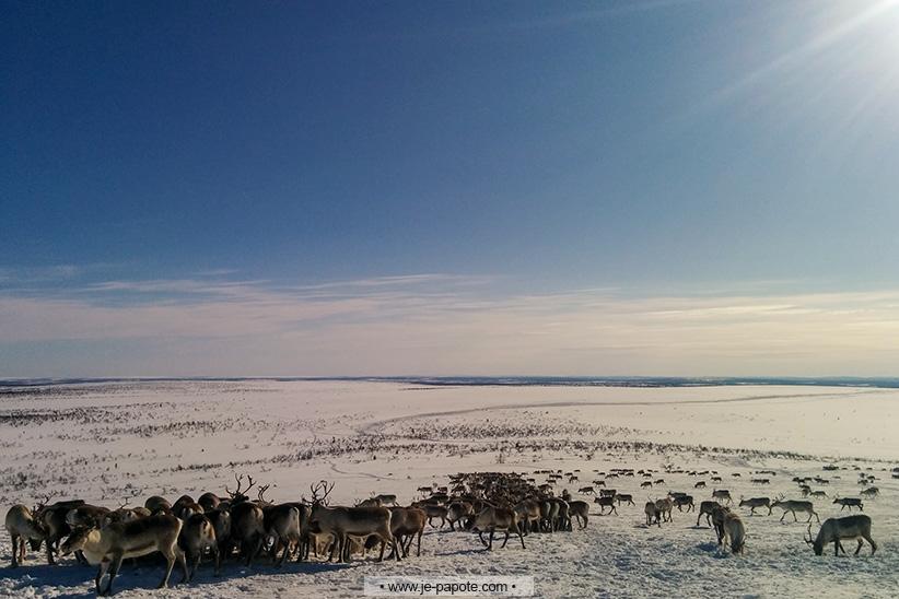 Voir des rennes en liberté finlande