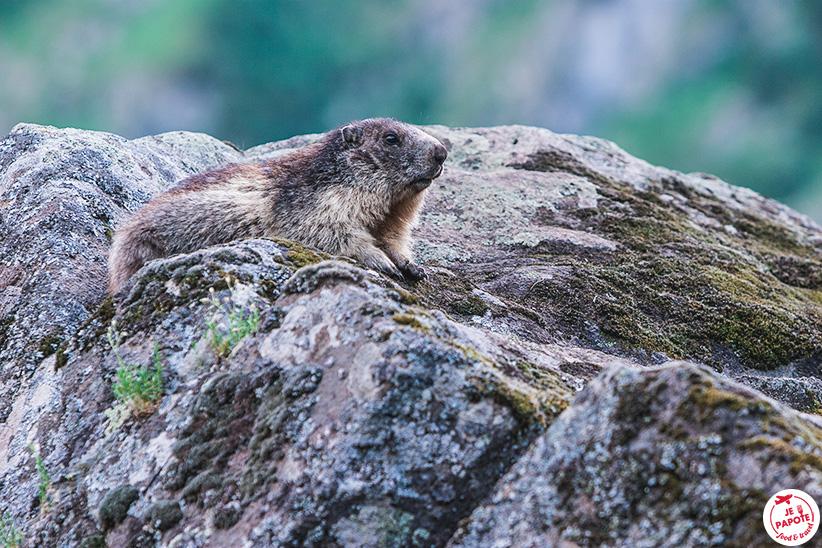 marmottes lac de lauvitel